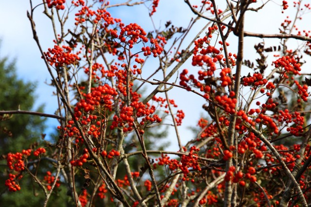 Rogn  /  Sorbus aucuparia