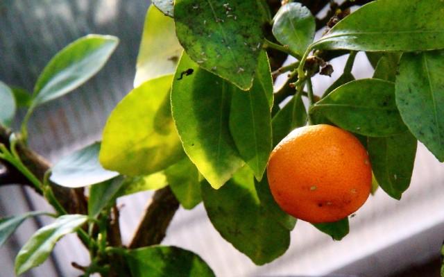 citrus  - appelsin
