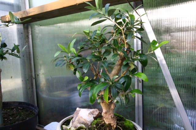 olea europea  -  bonsai