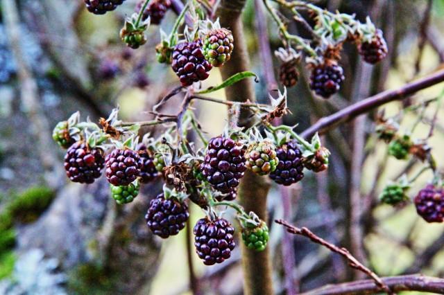 bjørnebær (rubus fruticosus) 01.12.13.