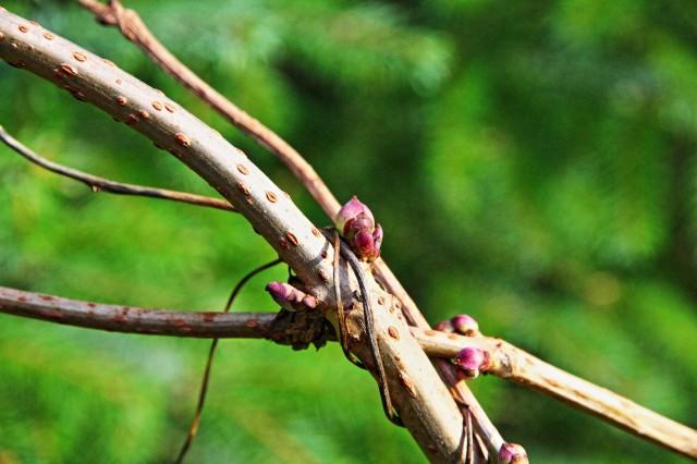 svarthyll (sambucus nigra) 01.12.13.