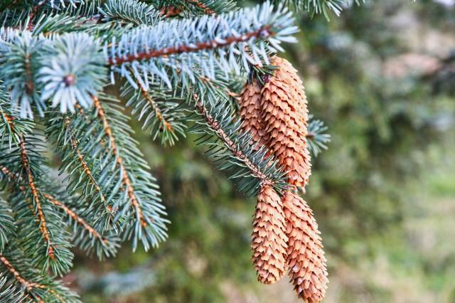 Sitkagran (Picea sitchensis)